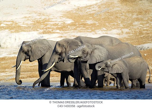 African Elephant Loxodonta africana - Breeding herd drinking at the bank of the Chobe River  Photographed from a boat  Chobe National Park, Botswana