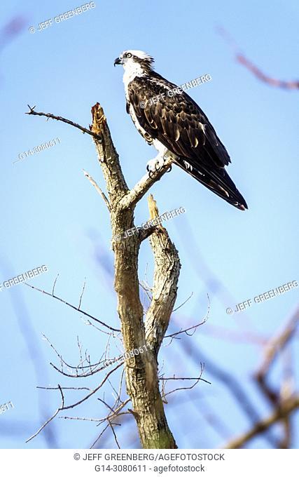 Florida, Fort Ft. Myers Beach, osprey Pandion haliaetus, bird, raptor, habitat, perched, tree branch, wildlife