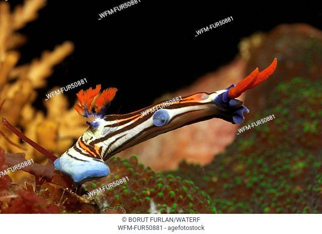 Nembrotha Nudibranch, Nembrotha purpureolineolata, Alor, Lesser Sunda Islands, Indo-Pacific, Indonesia
