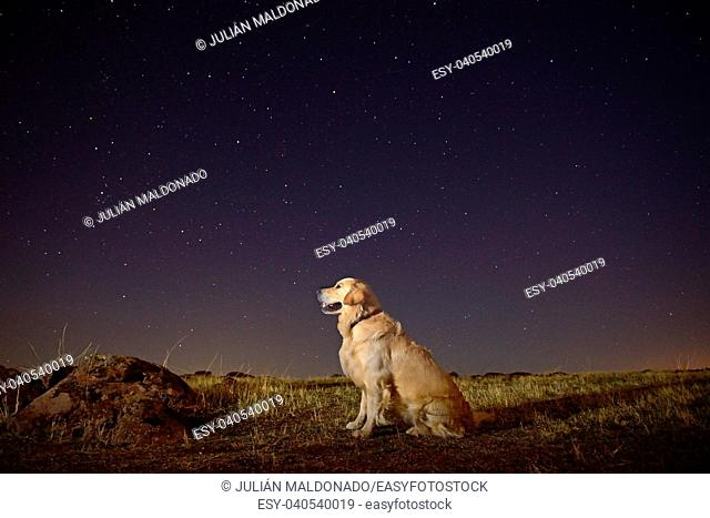 Golden Retriever dog in the field