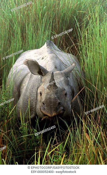 Indian One-horned Rhinoceros (Rhinoceros unicornis), Kaziranga National Park. Assam, India