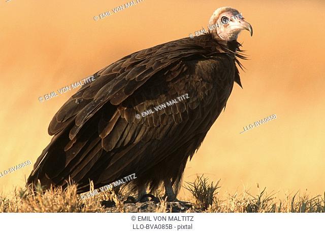 Portrait of a Hooded Vulture Necrosyrtes monachus in the Bushveld  Nkasa Rupara National Park, Eastern Caprivi, Namibia