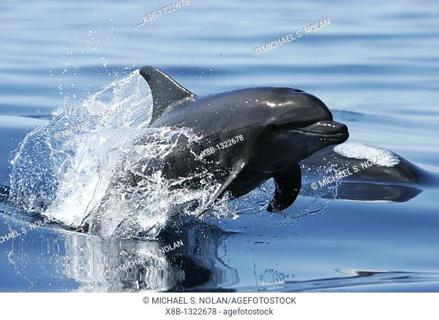 Adult Bottlenose Dolphin Tursiops truncatus gilli leaping in the upper Gulf of California Sea of Cortez, Mexico