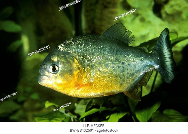 convex-headed piranha, Natterer's piranha, red piranha, red-bellied piranha (Serrasalmus nattereri, Pygocentrus nattereri, Rooseveltiella nattereri), swimming