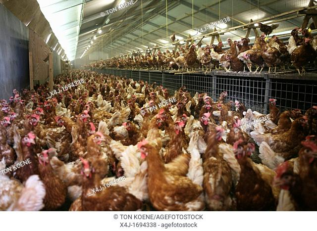 chickenare kept for egg production The chicken are not kept in gages but can walk freely Maximum 9 chicken per square meter are allowed