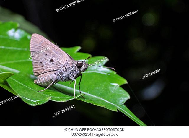 Moth. Image taken at Stutong Forest Reserve Parks, Sarawak, Malaysia