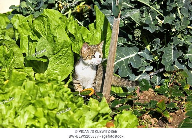 domestic cat, house cat Felis silvestris f. catus, looking out of vegetable patch