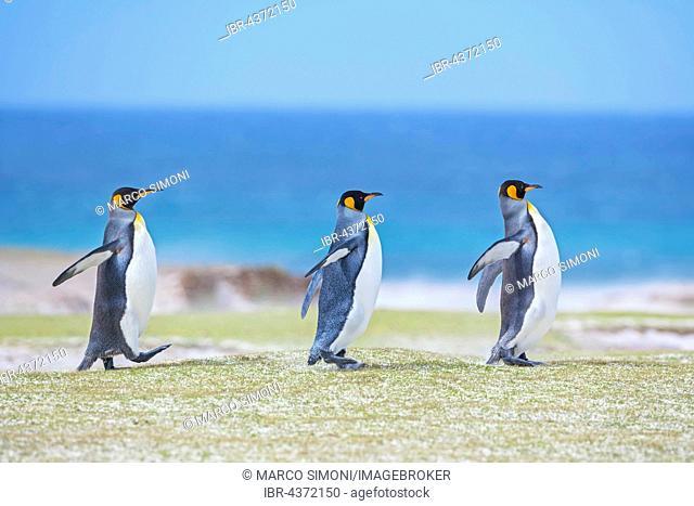 Three King penguins (Aptenodytes patagonicus) walking, Volunteer Point, East Falkland, Falkland Islands, South Atlantic