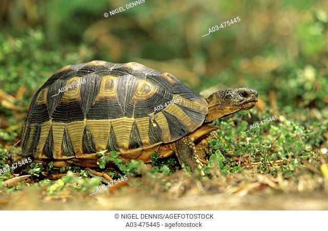 Angulate Tortoise, Chersina angulata, endangered, found only in fynbos habitat, Western Cape, South Africa