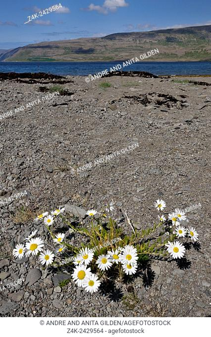 Sea Mayweed (Matricaria maritima) in lava field and Icelandic landscape, Iceland