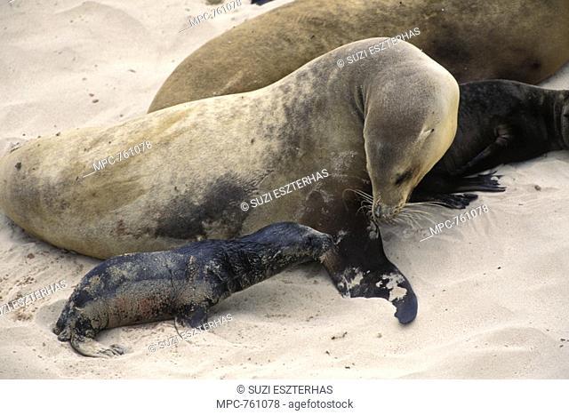 California Sea Lion Zalophus californianus, mother and newborn pup, San Miguel Island, Channel Islands National Park, California