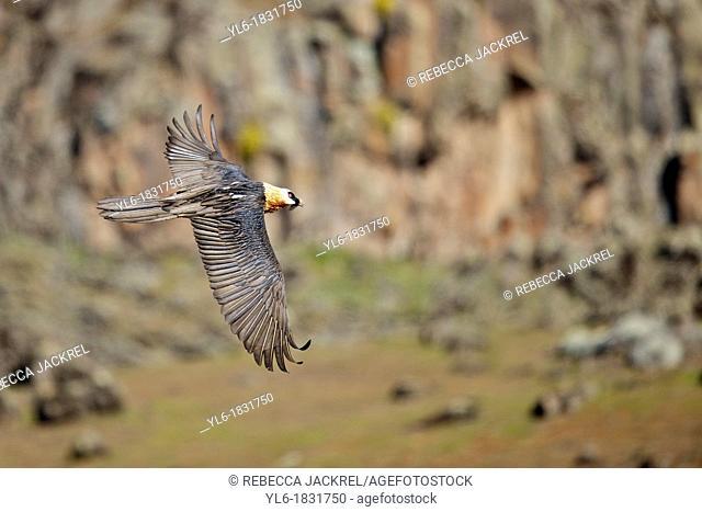 An adult lammergeier flying in Ethiopia