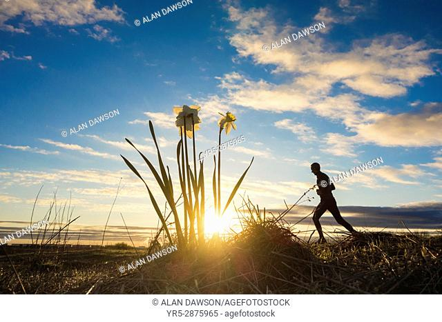 Billingham, north east England. United Kingdom. Mature male jogger running past Spring flowering Daffodils (Narcissus) in wildflower meadow at sunrise