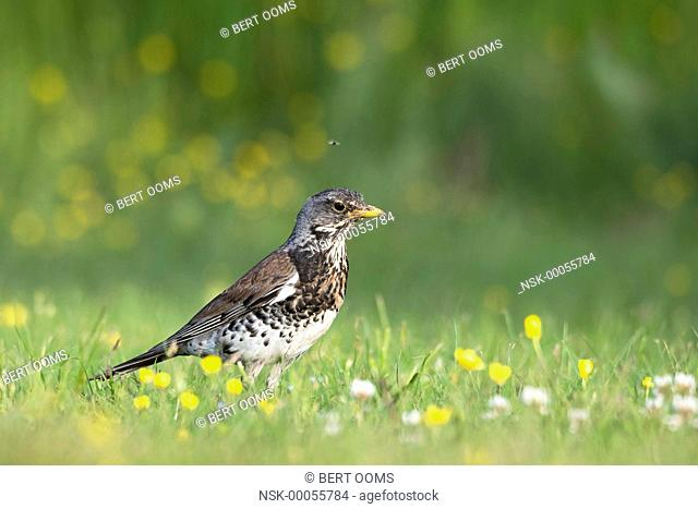 Fieldfare (Turdus pilaris) in low angle view in grassland with white clover (Trifolium repens) and Buttercup (Ranunculus sp.), Norway, Buskerud, Royse