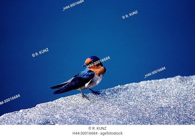 Pacific Swallow, Hirundo tahitica, Hirnundinidae, Swallow, bird, animal, Singapore