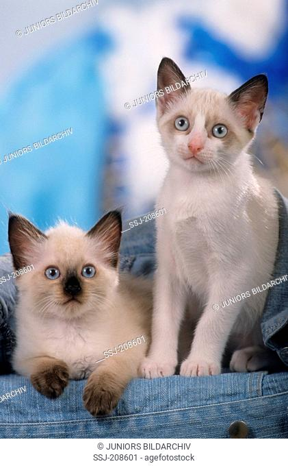 Snowshoe Cat and Thai cat.Two kittens next to each other. Germany