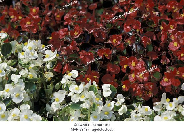 little begonias flowers, st.paolo d'argon, italy