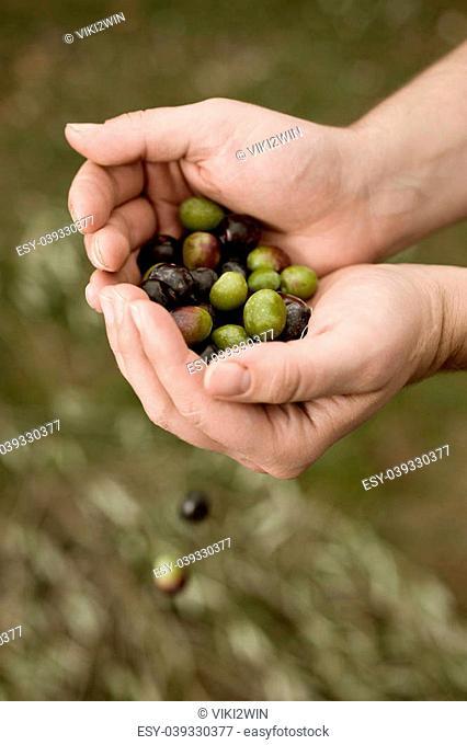 Male hands holding fresh olives