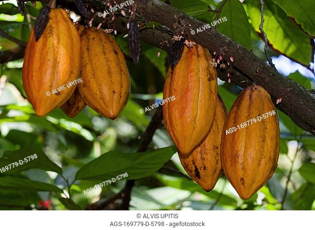 Agriculture - Mature red orange cacao pods on the tree / Hawaii, USA