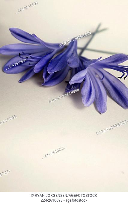 Decorative still life floral background of blue agapanthus flowers laying on minimalist grey background