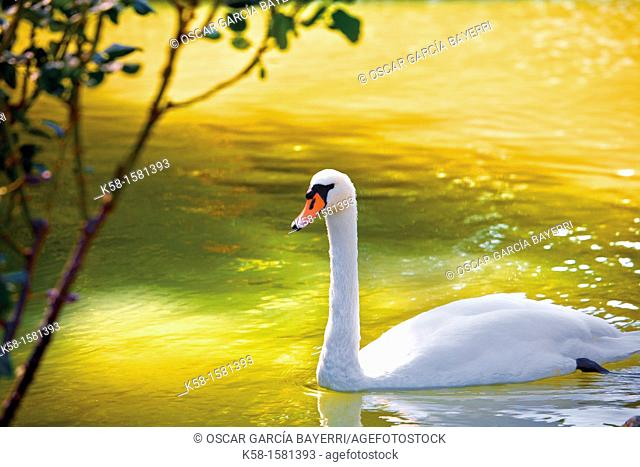 Swan in pond Perelada Castle, Girona, Catalonia