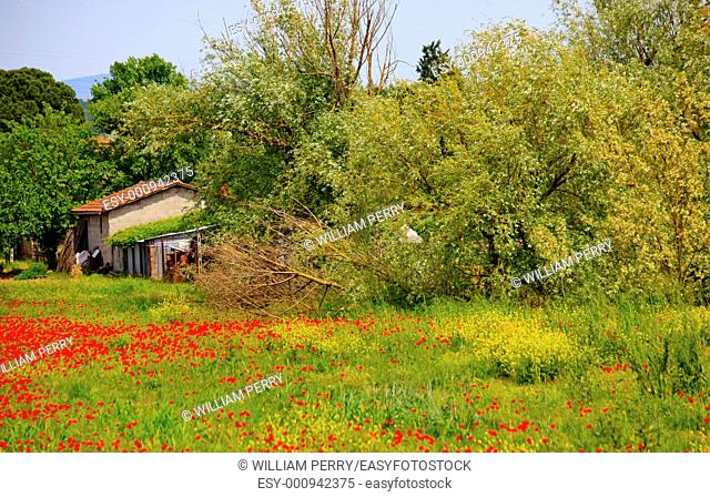 Farmhouse, Red Poppies, Green Grass Trees, Tuscany, Italy