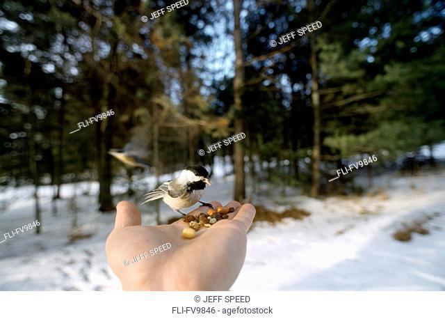 Chickadee in Palm of Hand