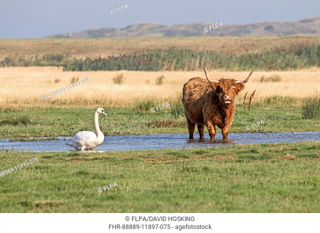 Mute Swan with Highland cow, standing in water with reeds behind. Deepdale Marsh, Norfolk