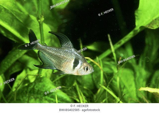 Black phantom tetra (Hyphessobrycon megalopterus, Megalamphodus rogoaguae, Megalamphodus megalopterus), swimming