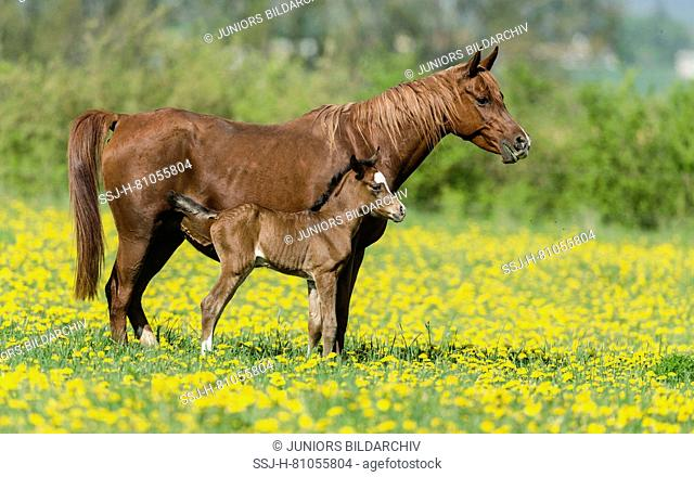 Purebred Arabian Horse. Chestnut mare with bay foal standing on a flowering pasture. Germany