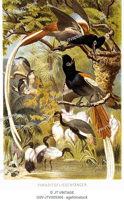 Birds of Paradise, Chromolithograph, circa 1898