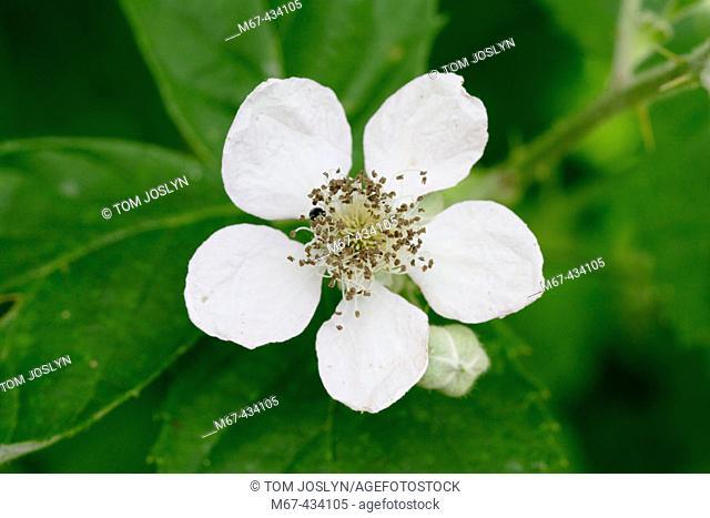 Bramble flower (Rubus fruticosus agg) Close up , England , UK