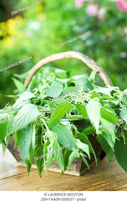 Basket full of stinging nettle urtica dioica