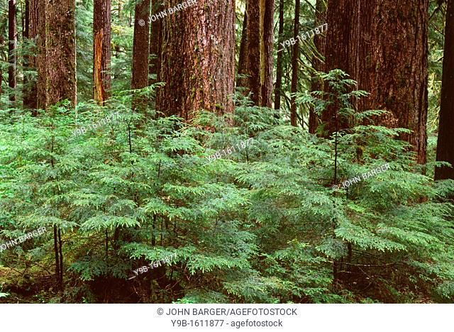Temperate rain forest with young western hemlock saplings beneath large trunks of mature western hemlock, Sol Duc Valley, Olympic National Park, Washington, USA