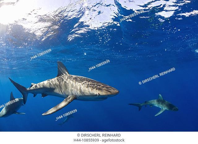 10855939, Galapagos Sharks, Carcharhinus galapagen