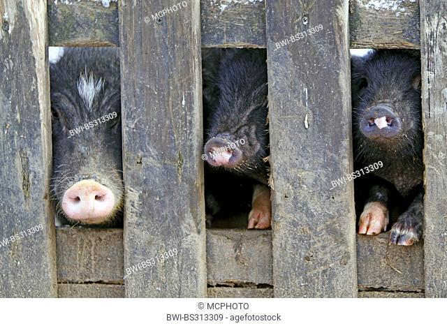 domestic pig (Sus scrofa f. domestica), minipigs looking through a fence