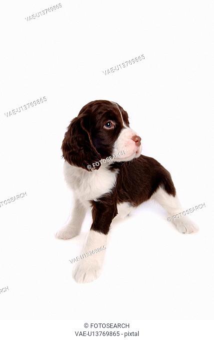 house pet, springer spaniel, canines, domestic, spaniel, english springer spaniel