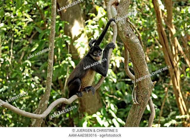 Spider Monkey (Ateles geoffroyi), adult in Tree, Roatan, Honduras