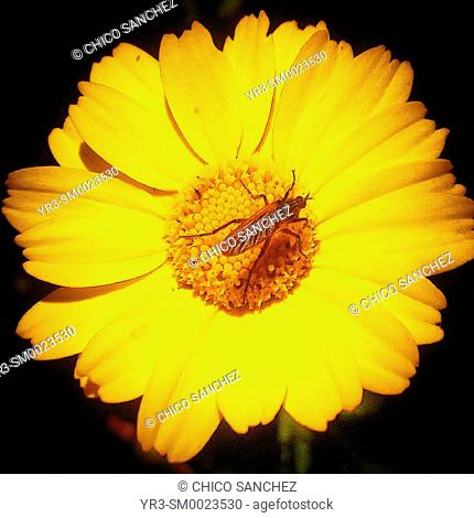 A mosquito perches on a yellow flower in Prado del Rey, Sierra de Grazalema Natural Park, Andalusia, Spain