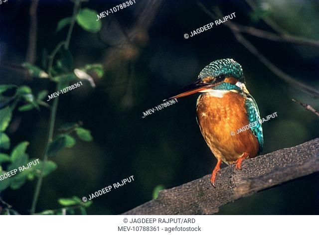 Small Blue / Common Kingfisher (Alcedo atthis)