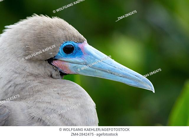 Portrait of a Red-footed booby (Sula sula) on Genovesa Island (Tower Island) in the Galapagos Islands, Ecuador