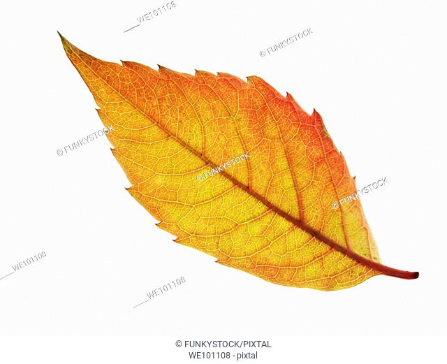 Fallen Autumn Leaf - Brightly coloured laeves