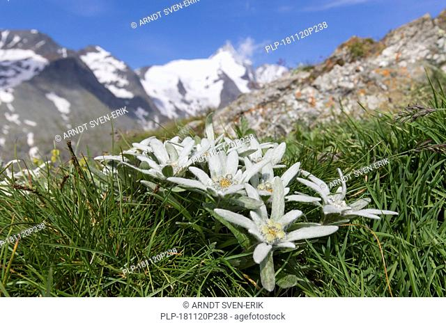 Edelweiss (Leontopodium nivale) in flower in front the mountain Grossglockner / Großglockner, Hohe Tauern NP, Austrian Alps, Carinthia, Austria