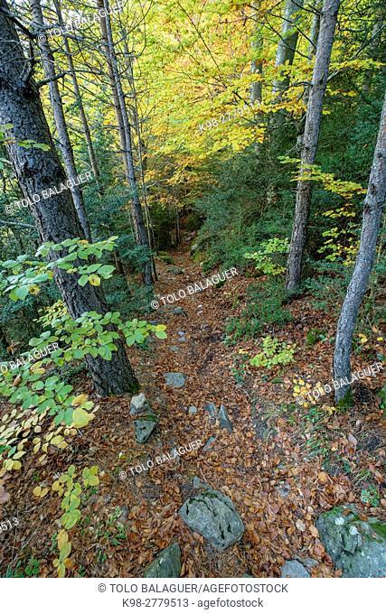 Deciduous forest, Selva de Oza, camino de los Ganchos y Boca del Infierno route, Valley of Hecho, western valleys, Pyrenean mountain range, province of Huesca