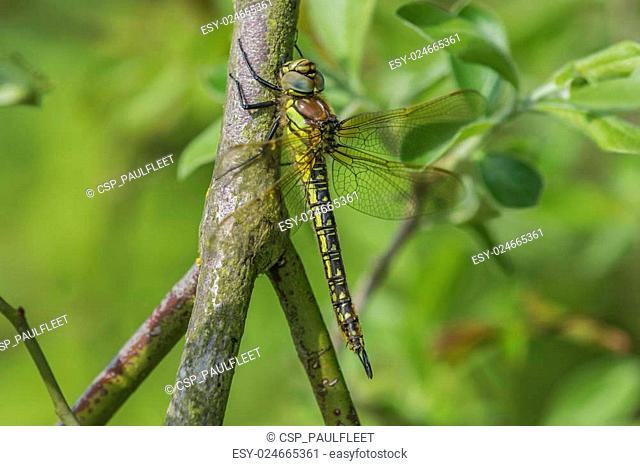 Female Hairy Dragonfly