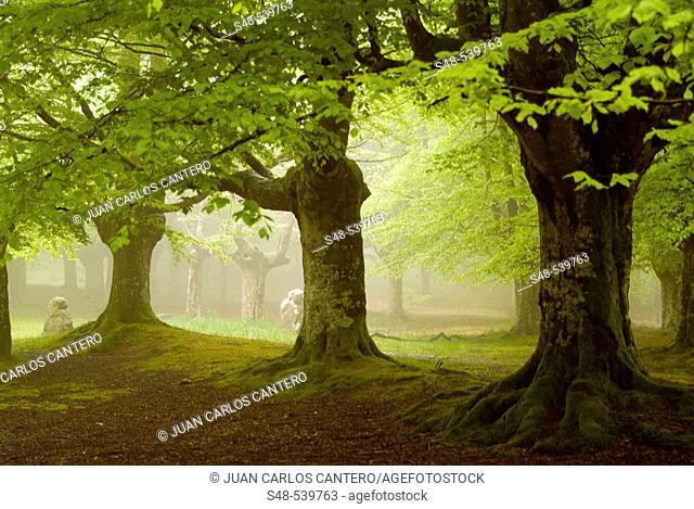 Beechwood (Fagus sylvatica). Urkiola National Park. Vizcaya province. Spain