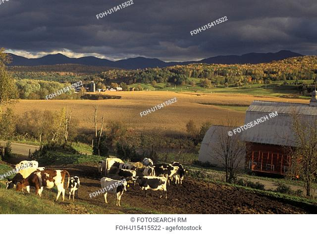 farm, cows, fall, autumn, Vermont, Cows grazing in a pasture with a scenic view of Mount Mansfield in the background in the fall in Cambridge in Lamoille County...