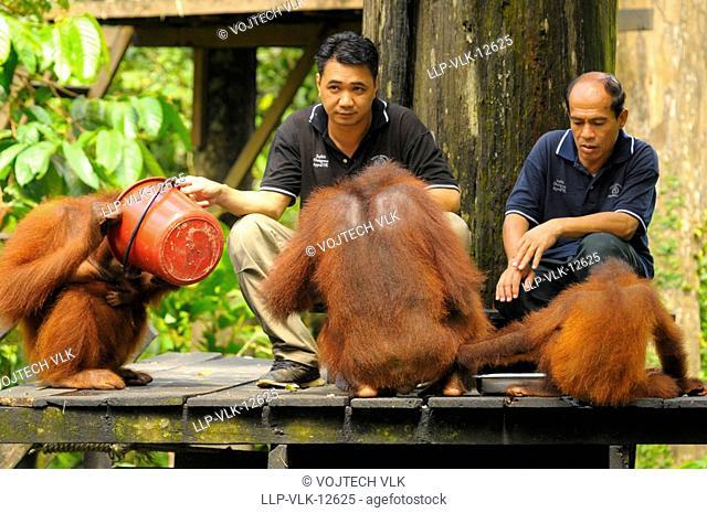 The orangutans with nursing men during the feeding