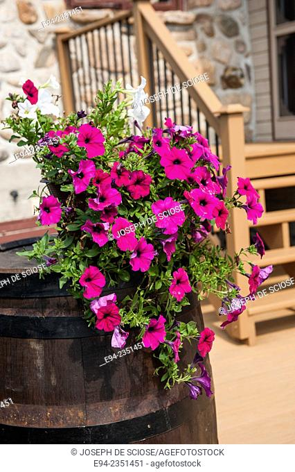 A hanging basket of petunia flowers on an old barrel outside of a house in Quebec