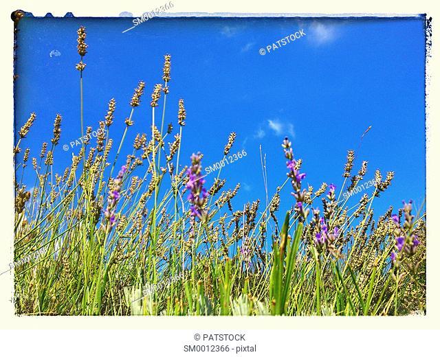 Lavender, Hvar island, Croatia